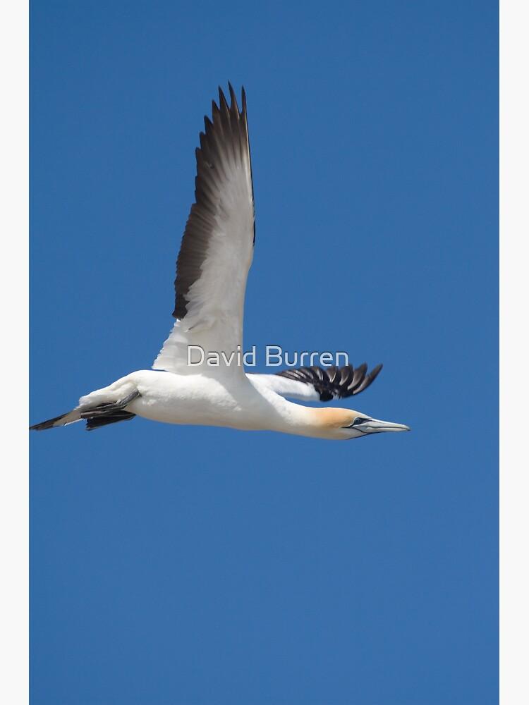 Gannet after take-off by DavidBurren