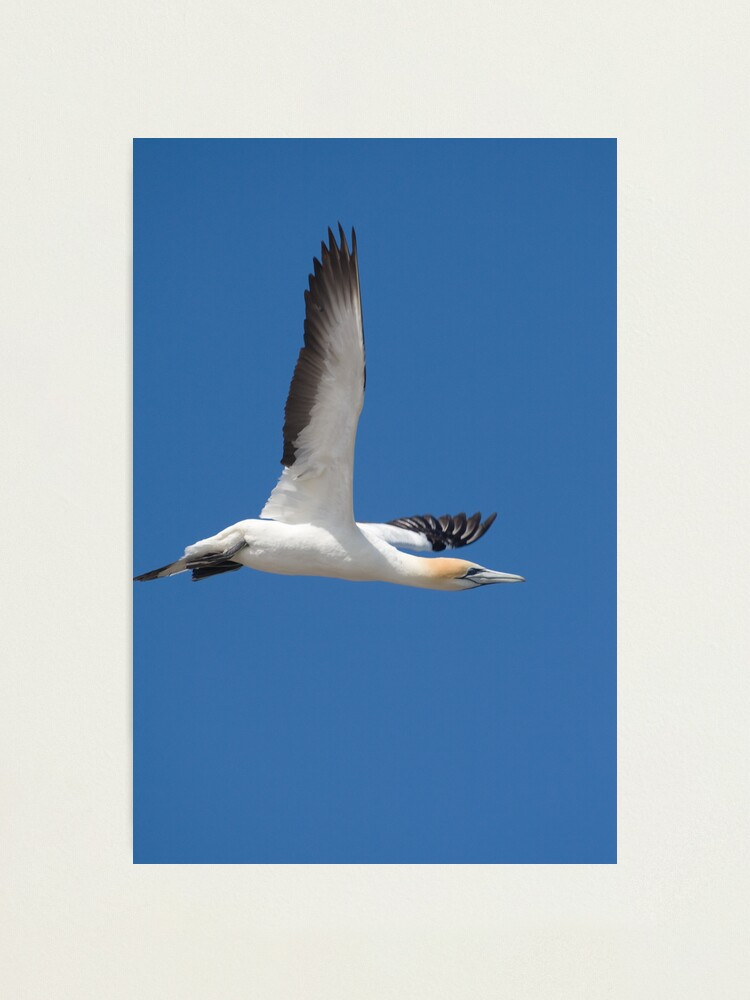 Alternate view of Gannet after take-off Photographic Print