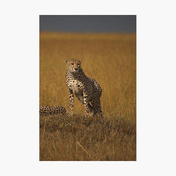 Cheetah, Awakened Photographic Print