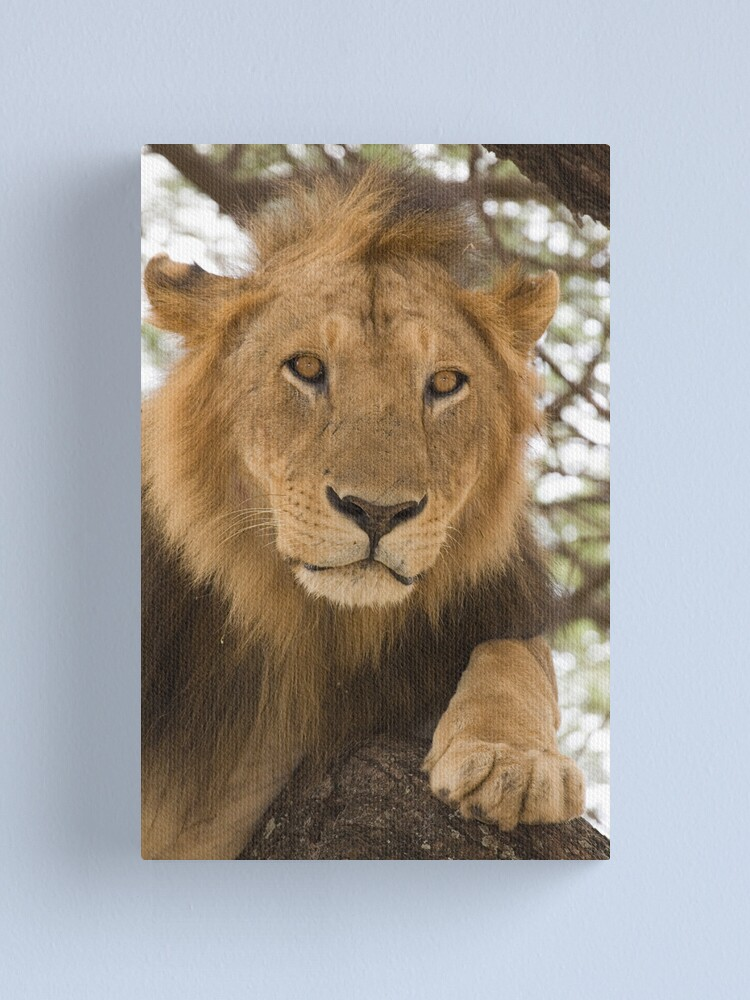 Alternate view of Lion resting in tree Canvas Print