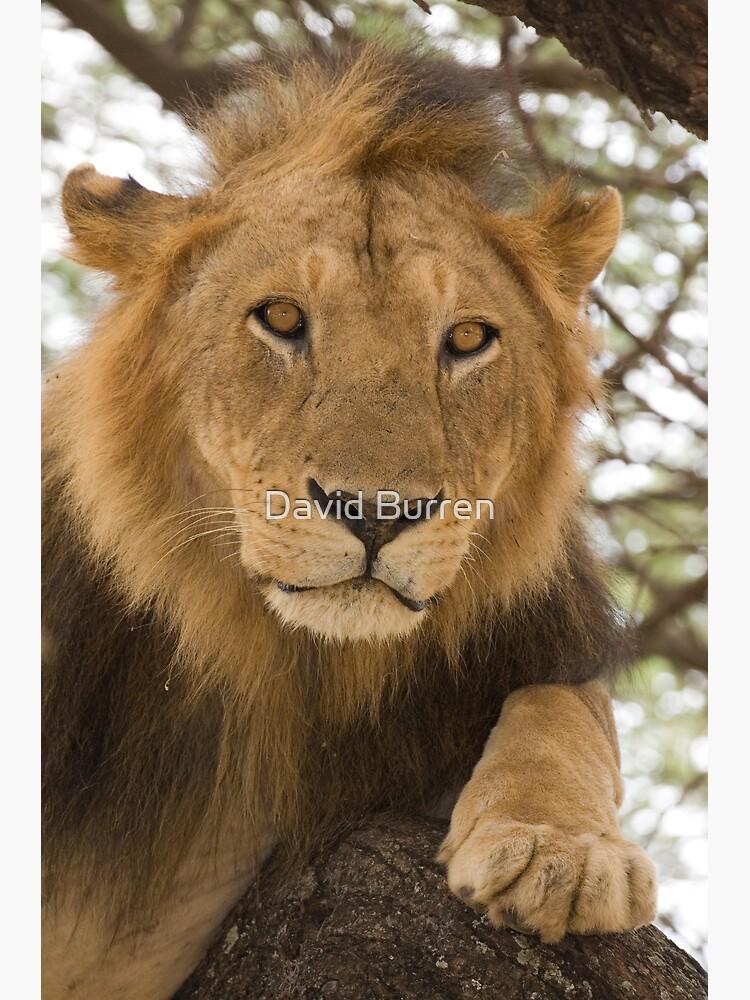 Lion resting in tree by DavidBurren