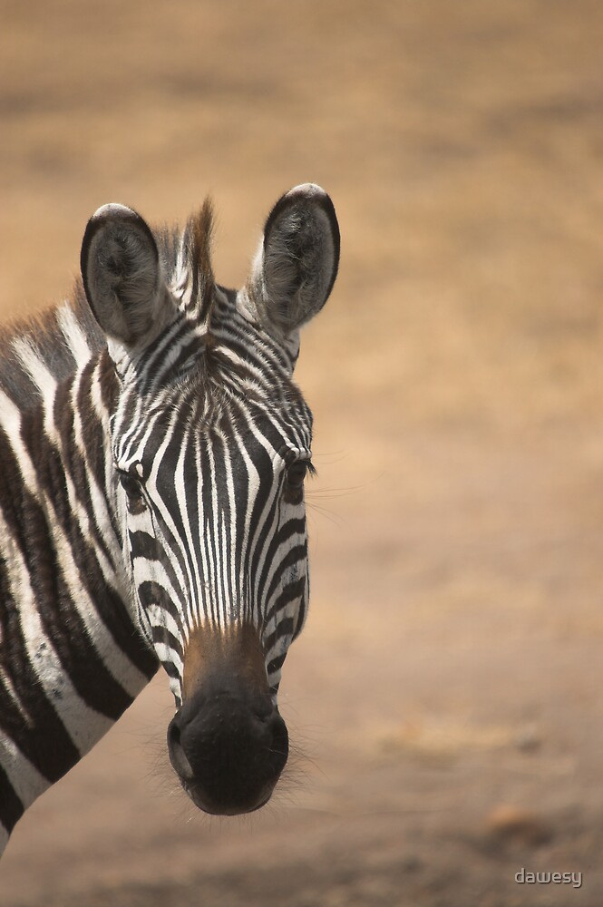 Zebra - Masai Mara, Kenya by dawesy