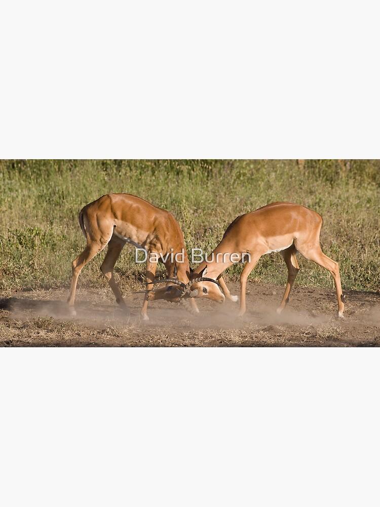 Impala scuffle by DavidBurren