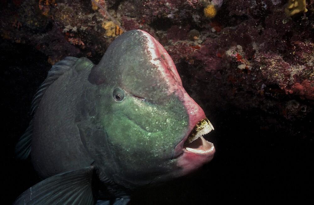 Bumphead Parrotfish by Grey