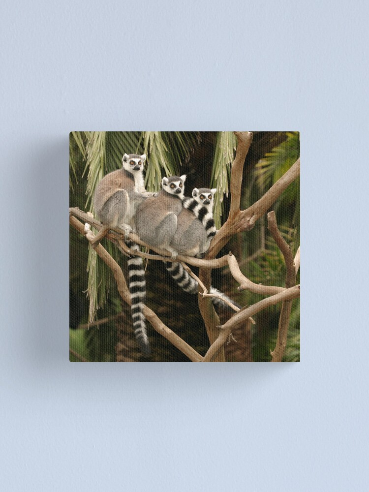 Alternate view of Getting your lemurs in a row Canvas Print