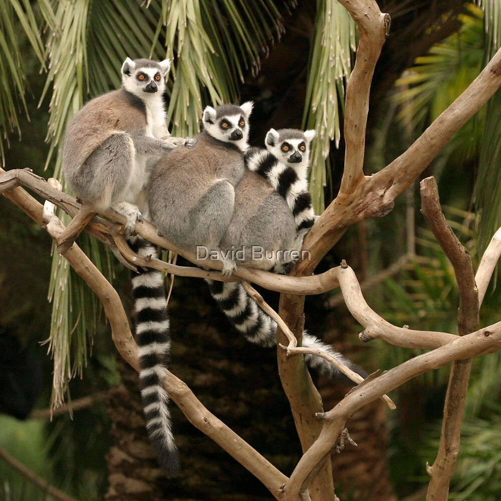 Getting your lemurs in a row by David Burren