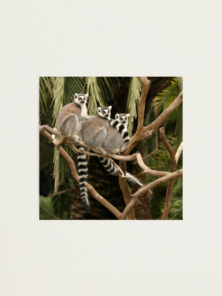 Alternate view of Getting your lemurs in a row Photographic Print