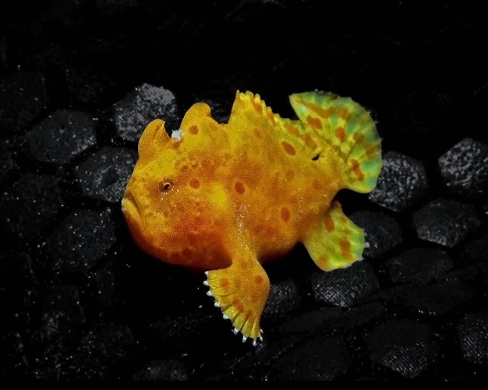 Frog fish by Grey