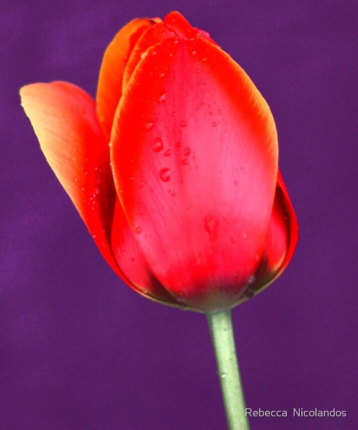 Tulip on Purple by Rebecca  Nicolandos
