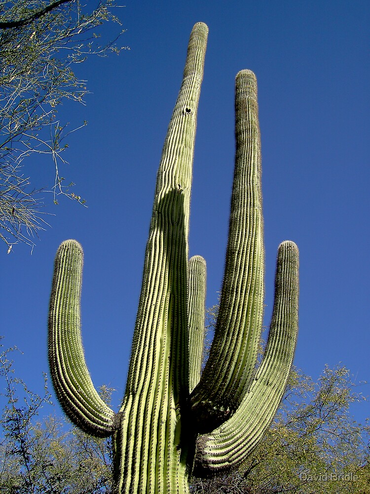 Cactus at Dawn by David Bridle