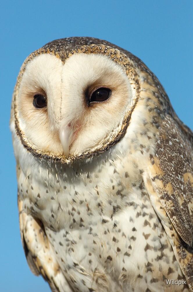 Masked Owl by Wildpix