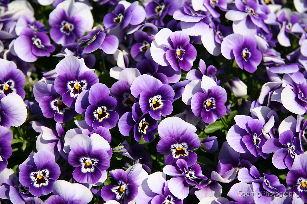 A Sea of Purple Pansies by SperingPhotography