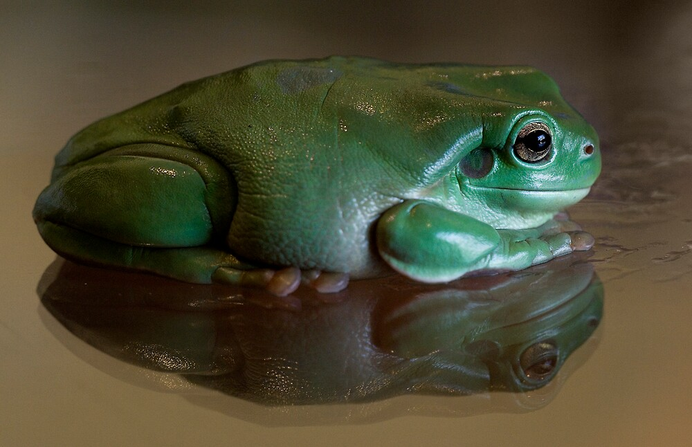 Green Tree Frog with reflection by inspiredimages