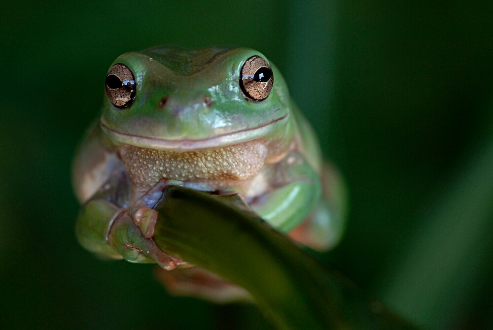 Green Tree Frog on a branch by inspiredimages