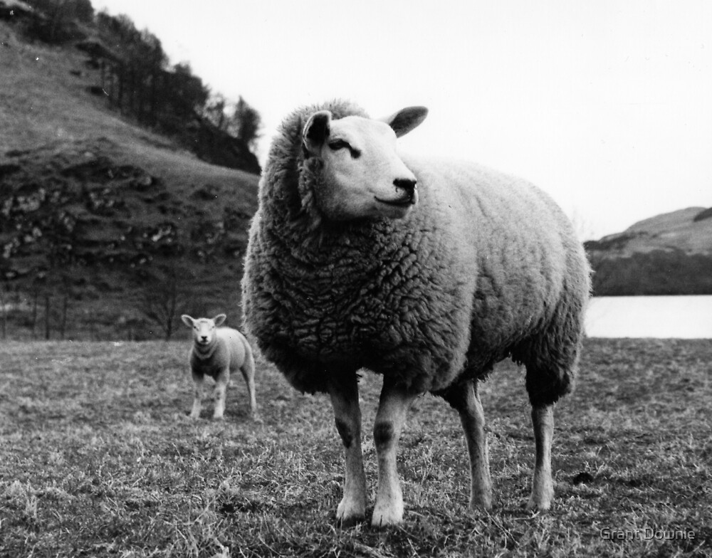 sheep by Grant Downie