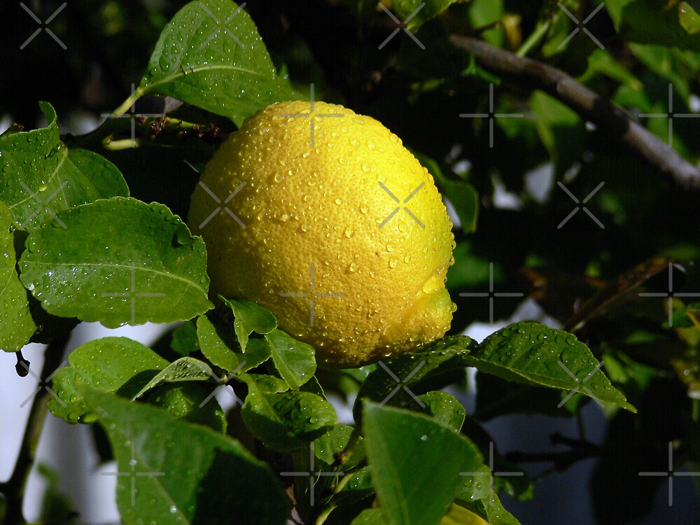 Lemon Spattered With Rain by Sandra Chung