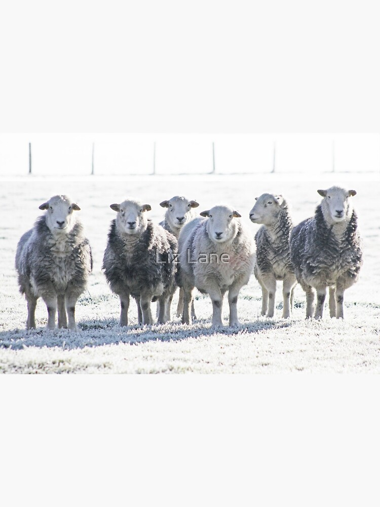 Herdwick Sheep by Furtographic