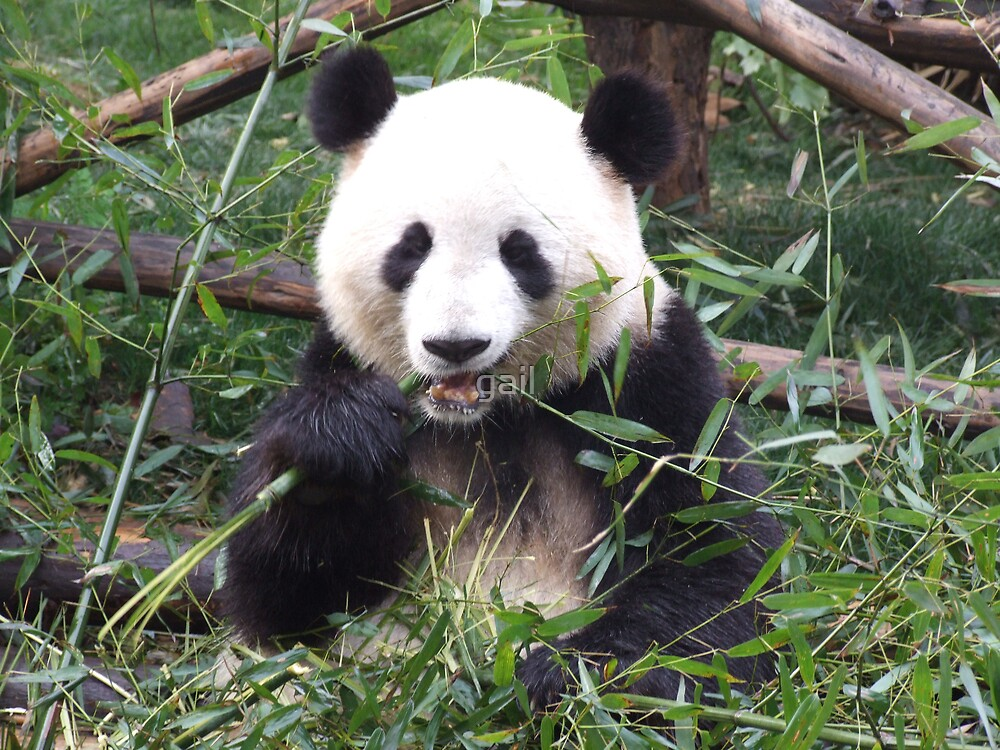 panda, China by gail