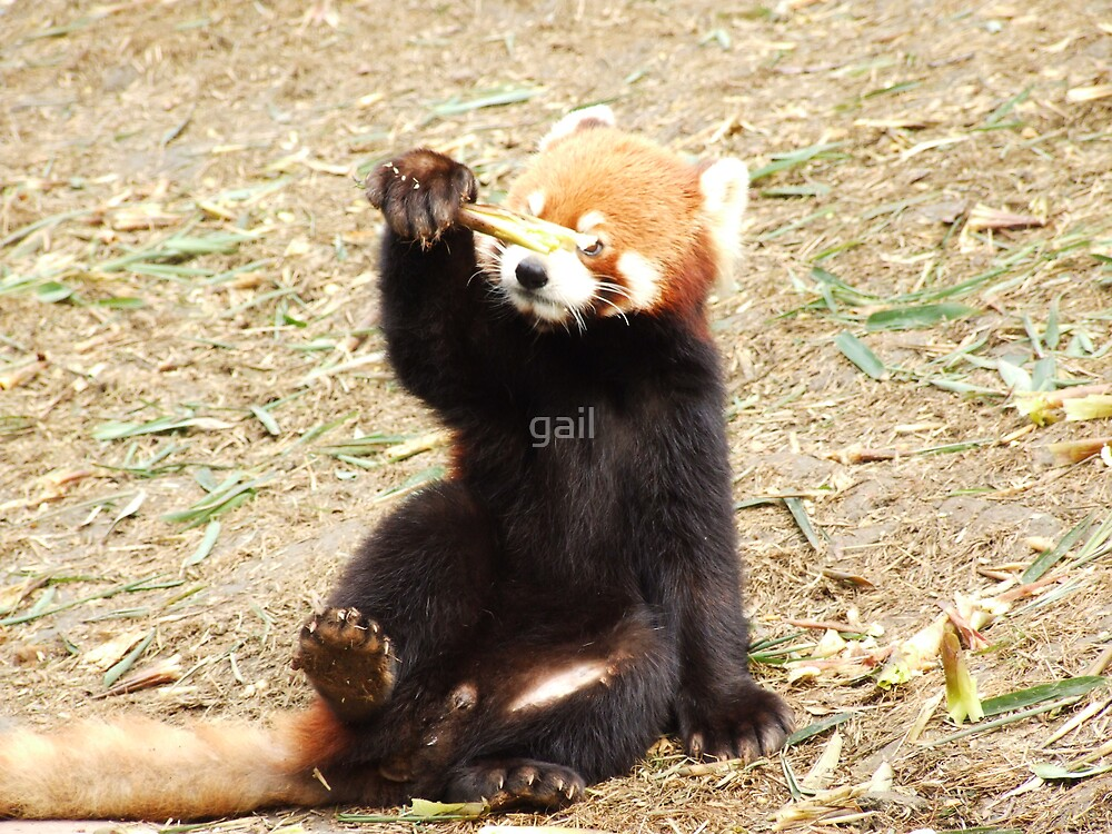 red panda by gail