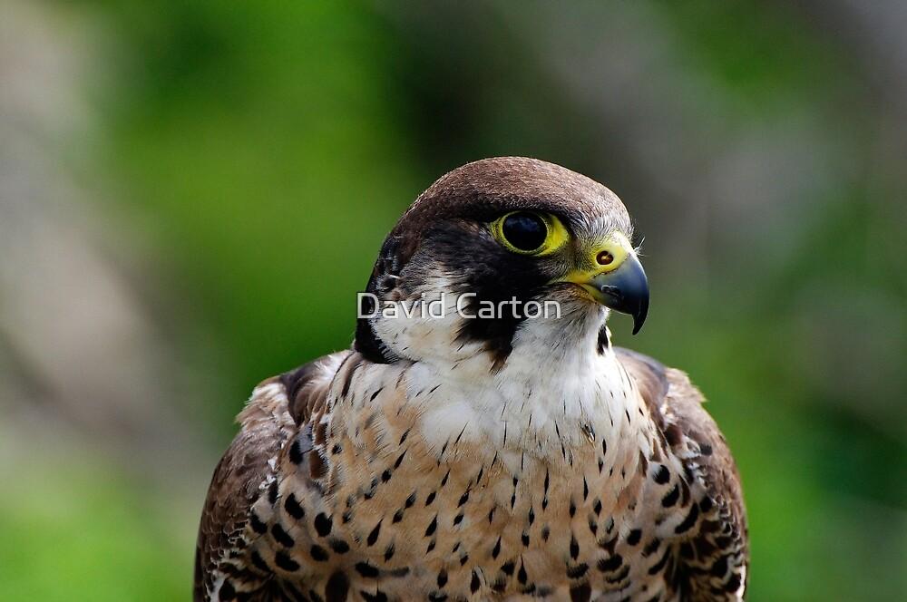 Peregrine falcon portrait by David Carton
