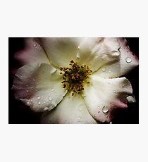 Antique Rose Photographic Print