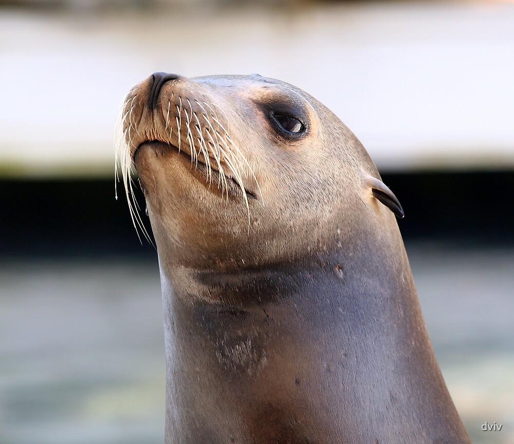 Sea Lion by dviv