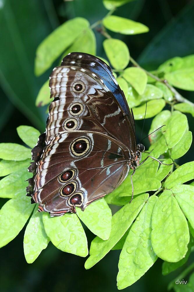Butterfly by dviv