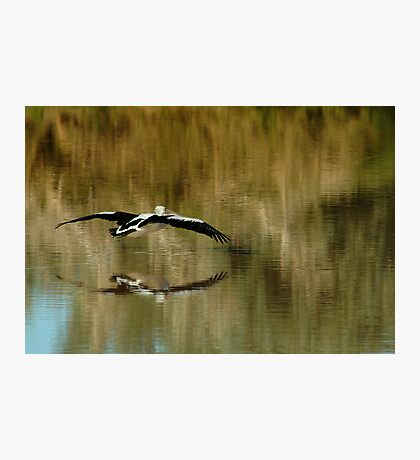 Pelican,Diamantina River, Outback Queensland Photographic Print