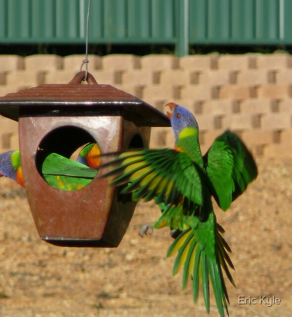 Lorikeets on the go. by Eric Kyle