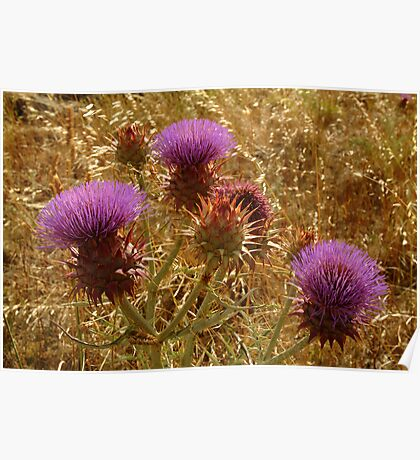 Purple Thistle,Geelong District Poster