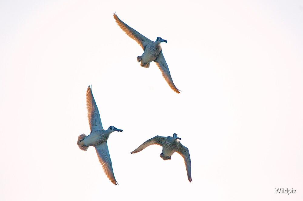 Pink-Eared Ducks by Wildpix