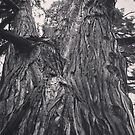Cedar Tree in Black & White by Douglas E.  Welch
