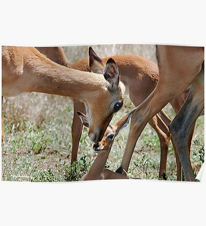 OBVIOUS AFFECTION - THE  IMPALA  - Aepyceros melampus petersi Poster