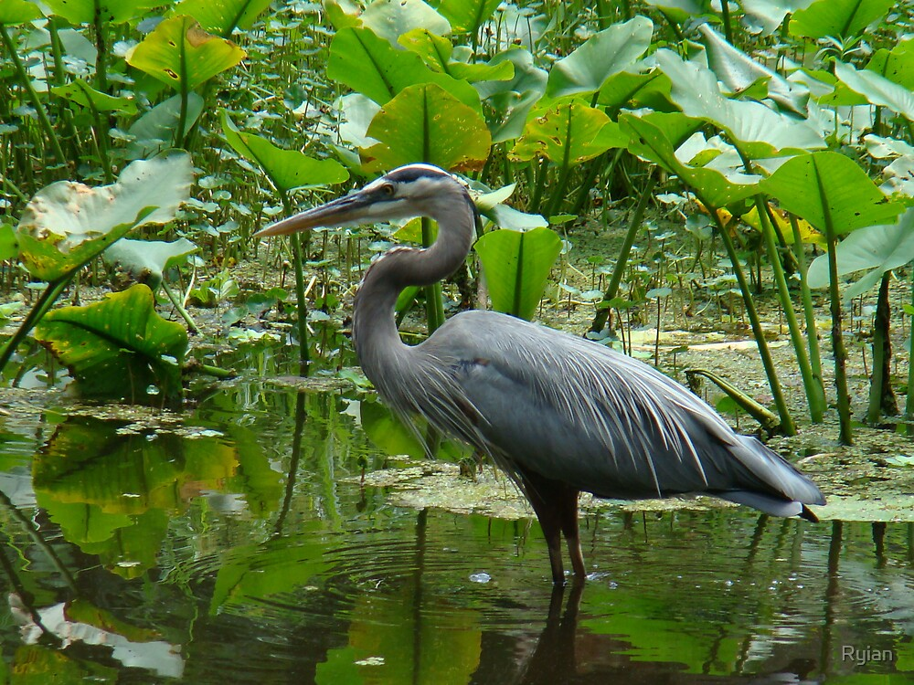 Great Blue Heron by Ryian