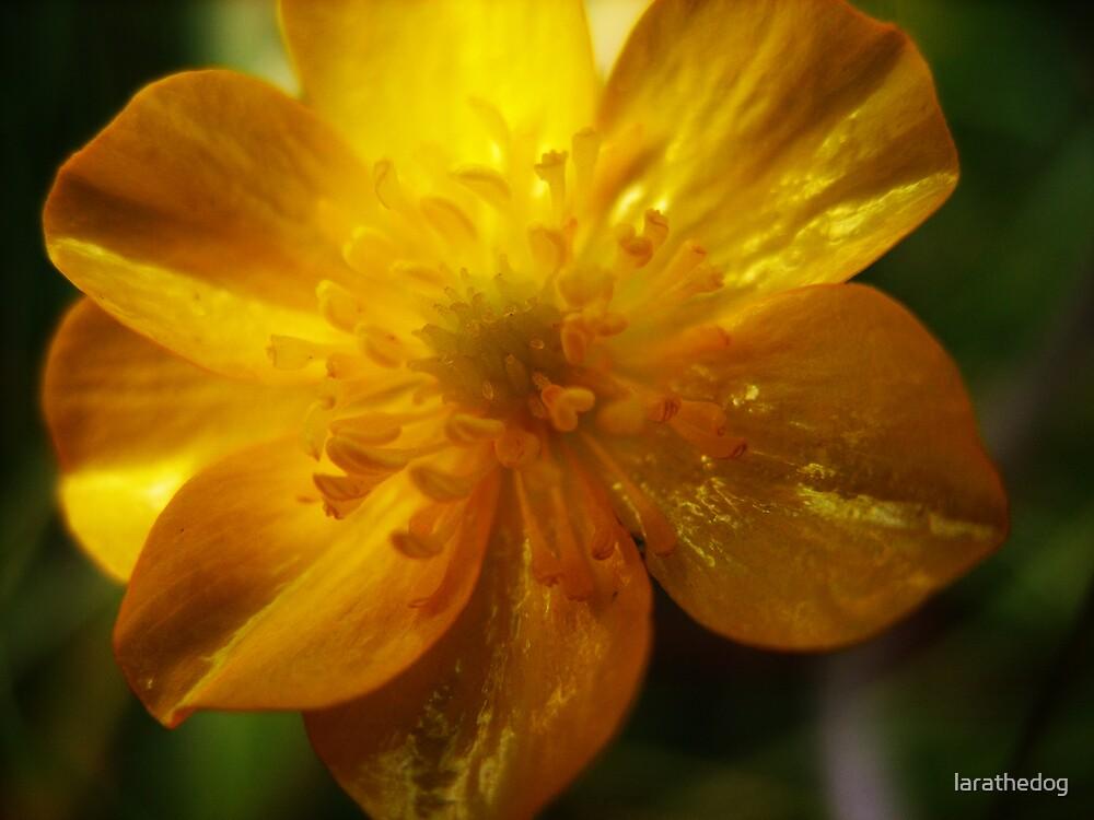 Buttercup by larathedog