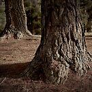 Pines trees #1 by farmboy