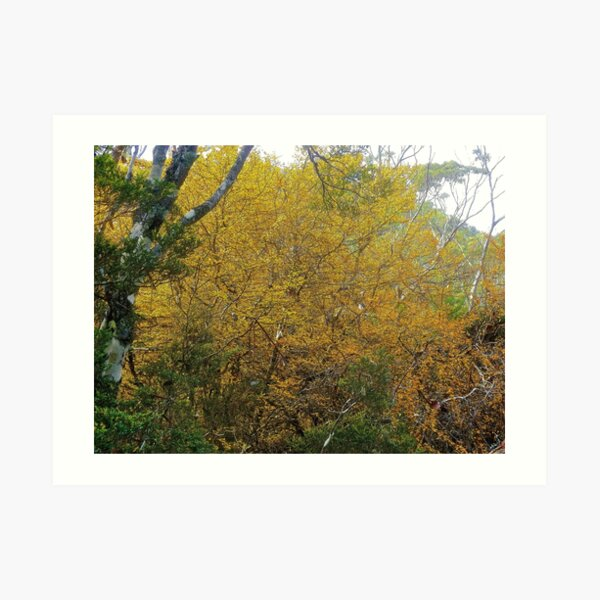 FAGUS ~ SCENES & SCENERY  ~ Bright by tasmanianartist Art Print