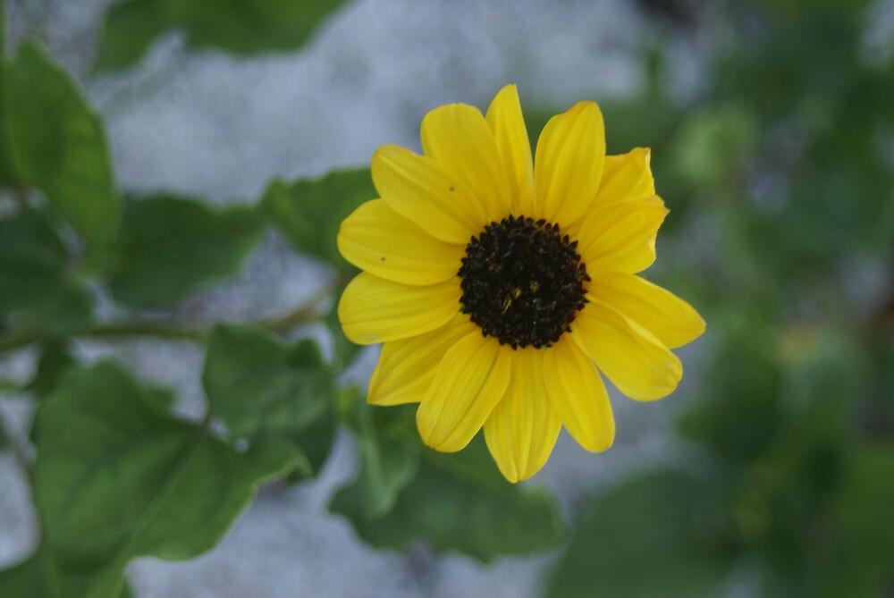 Beach flower by clcady