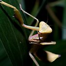 Praying Mantis by Brett Habener