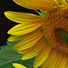 Sunflower by Douglas  Stucky