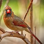 Female Cardinal looking right at me. by TJ Baccari Photography