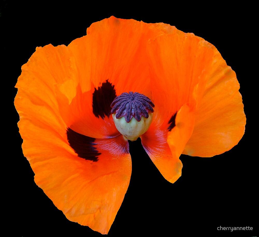 Red poppy by cherryannette