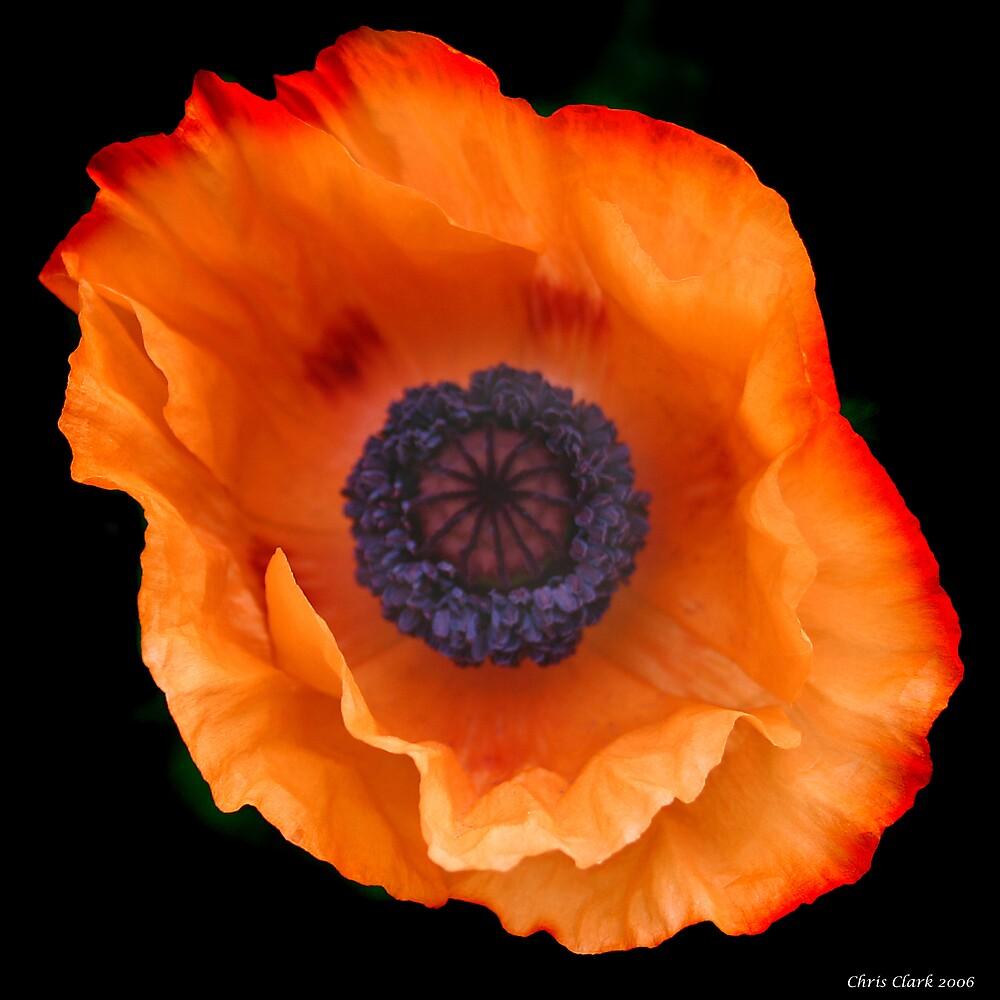 Poppy by Chris Clark