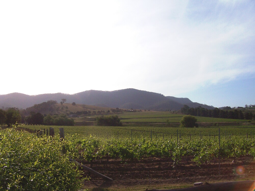 Vineyard, The Hunter Valley by nellypat