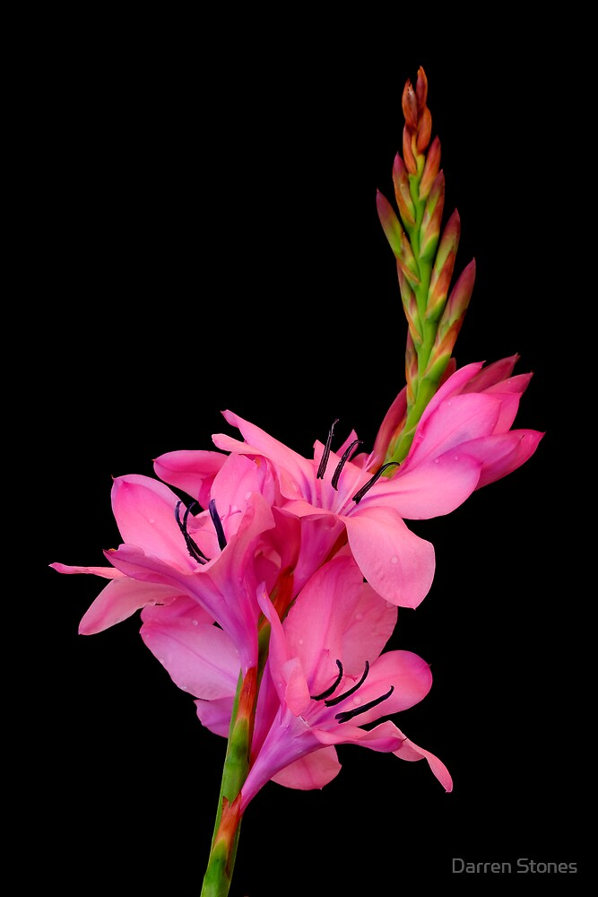 Watsonia by Darren Stones