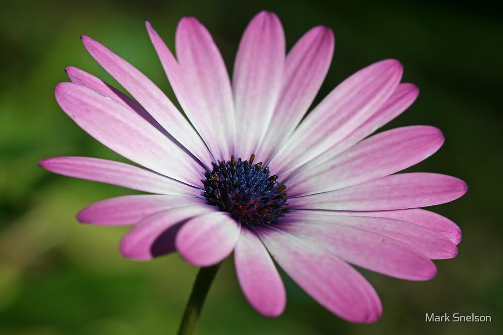 Purple Daisy by Mark Snelson