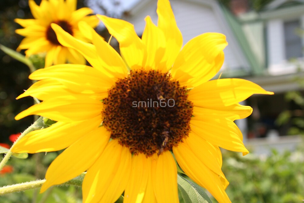 Yellow Sunflower 2007 by smiln60