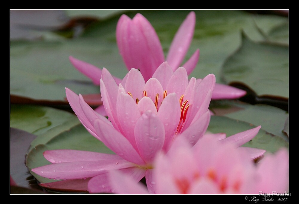 Pretty In Pink by Ray Fowler