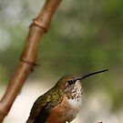Hummingbird by Heather Meadows