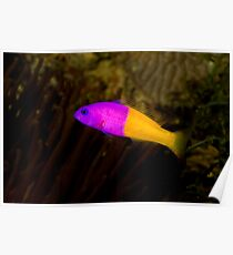 Royal Dottyback Poster